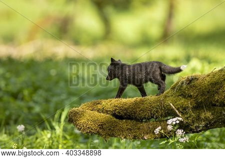 Red Fox, Vulpes Vulpes, Small Young Cub In Forest On Moss Stump. Cute Little Wild Predator In Natura