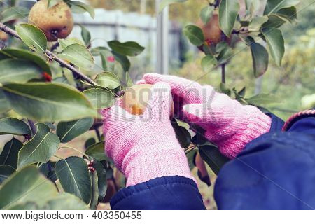 Child's Hands In A Glove Are Picking Delicious Ripe Pears On A Pear Tree Branch. Juicy Pear Fruits C