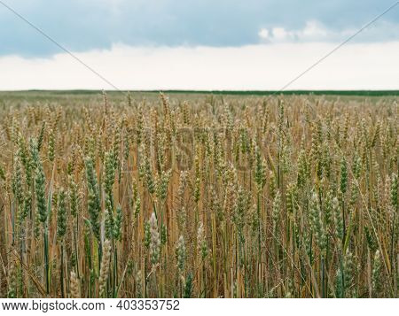 Organic Wheat Spikelets With Grains Inside. Concept Of The Rich Harvest. Green And Yellow Ears Of Wh