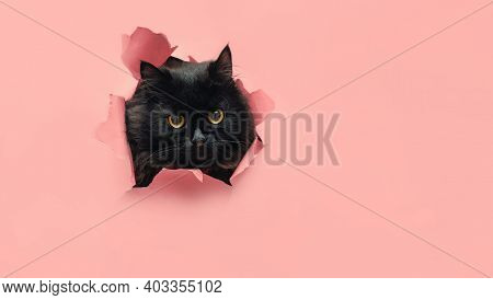 Funny Little Black Cat Breaking Pink Background