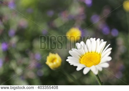 A Closeup On A Comet White Marguerite Daisy, Argyranthemum, With Purple Catmint Flowers In The Garde