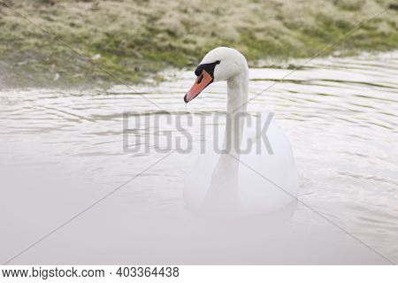 The White Swan Is Floating On The Water On Lakeshore In Nature.