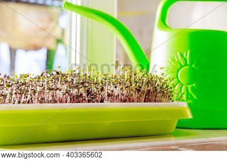 Microgreens Growing On Windowsill. Salad On The Windowsill. Microgreens Growing
