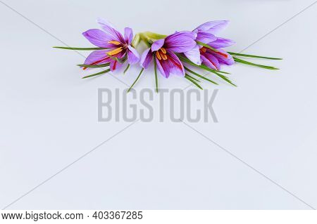 Fresh Flower And Leaves Of Saffron On A White Background. Place For Your Text. The Use Of Saffron Sp