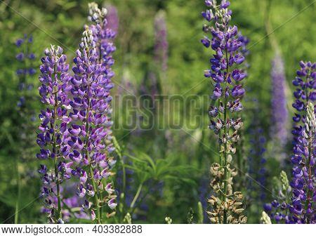 Forest Flowers In Green Grass. Lupine Field With Pink Purple And Blue Flowers. Lupine Field. Purple