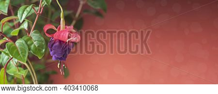 Beautiful Flowering Fuchsia Plant. Pink And Purple Flowers On A Bright Background. Floral Background