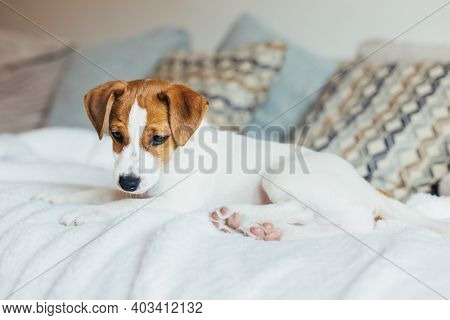 Adorable Puppy Jack Russell Terrier Lying On The Sofa. Portrait Of A Little Dog.