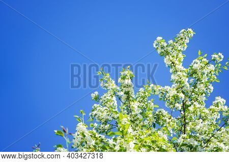 Blooming White Apple Tree On A Background Of Blue Sky On A Sunny Day. Beautiful Flowering Fruit Tree
