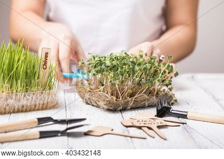 Microgreen Radish Sprouts In Female Hands. Raw Sprouts, Micro Greens, Seed Germination At Home. Vega