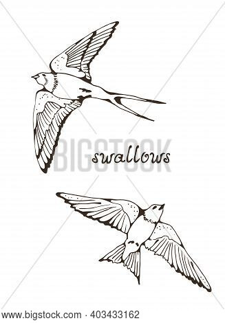 Swallow And House Martin Birds Vector Set, Hand Drawn Collection