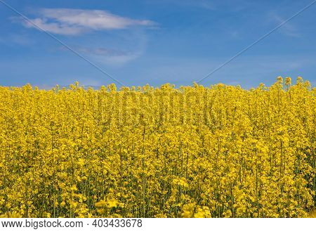 Cultivated Yellow Raps Field In Lithuania. Agricultural Concept Of Growing Oil Rapeseed