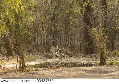 Angry Wild Male Tiger Scolding On A Playful Cub At Magdhi Zone Of Bandhavgarh National Park Or Tiger