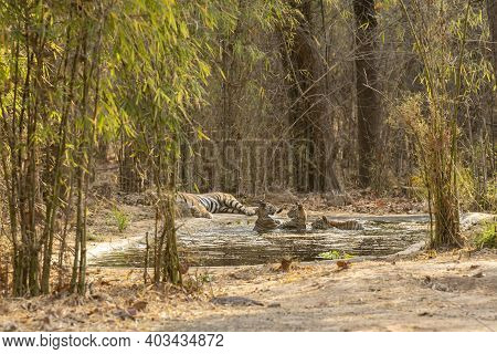 Wild Male Tiger And Father Of Playful Cubs In Water On A Hot Summer Day At Magdhi Zone Of Bandhavgar