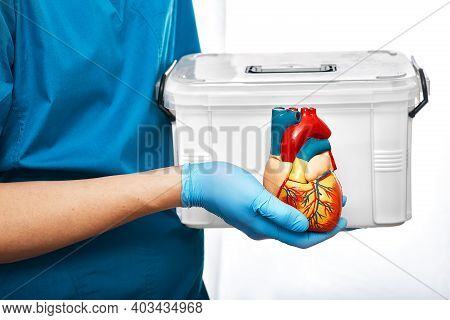 Cardiac Surgeon With Organ Transport And Anatomical Model Of The Human Heart, On A White Background.