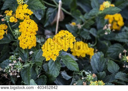 Beautiful Flowering Yellow Plant Called Lantana In The Hurghada In The Egypt. Nice Yellow Flowers In