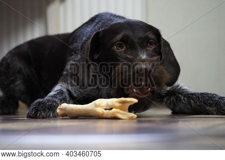 A Treat For A Purebred Hunting Dog. Pet Food From A Pet Store. Dog Nibbles A Treat.