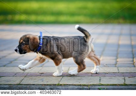 Pretty Brown Puppy With Violet Collar Walking On Sidewalk In Park. Concept Of Walk Dog.