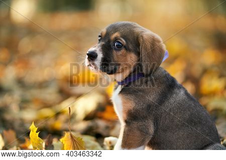 Close Up Of Beautiful Brown Puppy With Violet Collar Sitting On Autumn Leaves In Park. Concept Of Do
