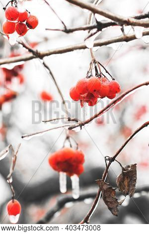 Viburnum In Ice. Icing. Frozen Berries. Nature. Red. Beautiful Winter