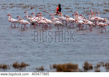 Flamingo Standing In Water Of Lagoon Kalochori.