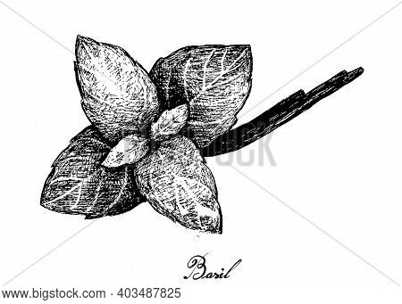 Herbal Plants, Hand Drawn Illustration Of Fresh Basil Plant Isolated On A White Background Used For