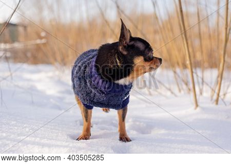 Chihuahua Walking In The Snow. Small Dog Jacket Cold In The Winter.chihuahua.