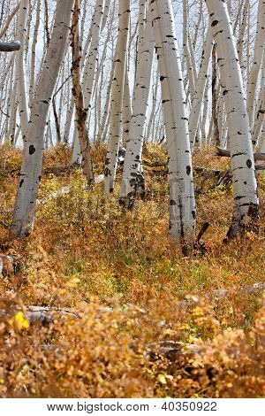 White Aspen Tree Trunks In Fall
