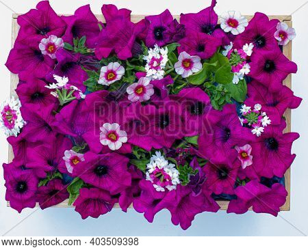 Top Down View Of A Box Of Purple Petunias Calibrichoa And Verbena On A White Background