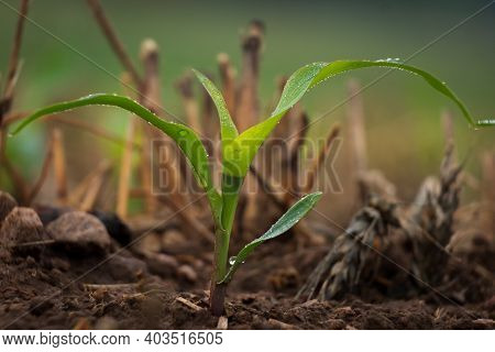 A Tiny Cornstalk Sprouts From The Earth And Emerges Among The Wheat Stubble In A No Till Operation.