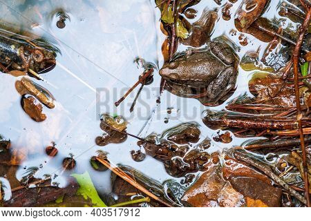 Top View Of A Green Frog In The Edge Of A Stream. Arrangement Of Bits And Pieces Of Debris Could Mak