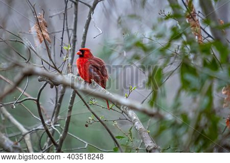 A Bright Red Male Cardinal Fluffs Out Its Feathers. Stark Contrast With Soft Background.