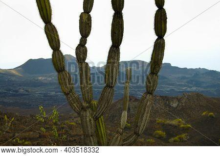 Candelabra Cactus In Sierra Negra Crater - Galapagos