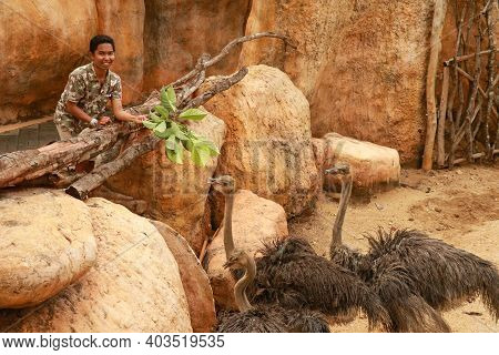 People Feed Ostriches In Zoo Park, Bali, Indonesia. A Young Asian Man Is Feeding A Ostrich. Visitor