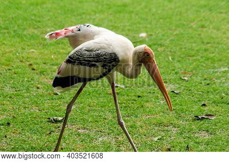 Painted Storks Walk On The Lawn. And Has A Unique Pink Plumage Painted Stork (mycteria Leucocephala)