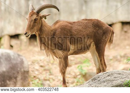 Barbary Sheep Standing On A Rock.