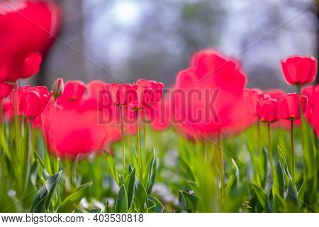 Close-up Of Pink Tulips In A Field Of Pink Tulips. Spring Background With Pink Tulips Flowers. Beaut