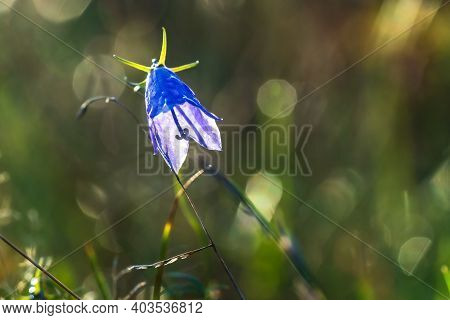 Beautiful Alpine Bluebell Flower Close Up On Blooming Alpine Meadow With Wild Flowers And Green Gras