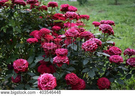Beautiful Red Roses Grow In The Garden. Weaving Roses. A Lot Of Green Leaves. Many Red Wild Roses In