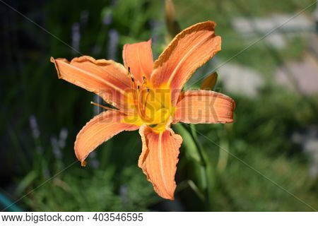 Orange Lily Flowers In Nature. Charming Blooming Tender Lily Flower - Summer Background For Advertis