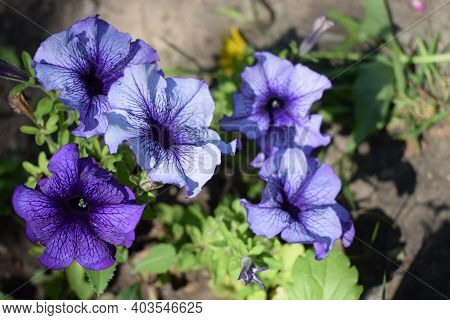 Petunia Large-flowered Limbo Blue Veined. Flower Of A Petunia One-year White And Violet Color In A G