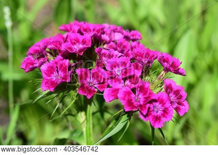 Flowerbed Of Dianthus Barbatus. Close Up Of Deep Pink And Red Head Dianthus Barbatus (sweet William)