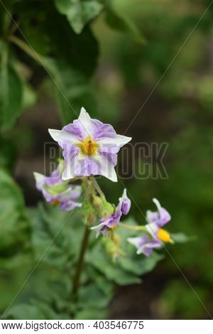 Potato Flowers Growing In The Garden. Potato Flowers Blossom In Sunlight Grow In Plant. White Bloomi