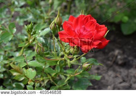 Beautiful Red Rose With Buds In Garden. Cyme Of Small Red Rose Flowers And Buds. Lovely Blooming Red