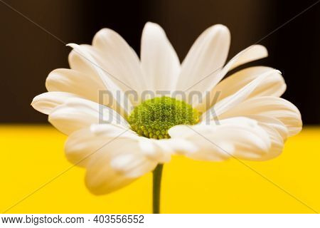 Closeup White Daisy Flower On Yellow And Dark Brown Background