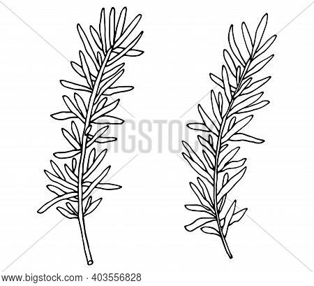 Hand Drawing Of Rosemary Branch, Isolated On White Background. Vector Illustration.
