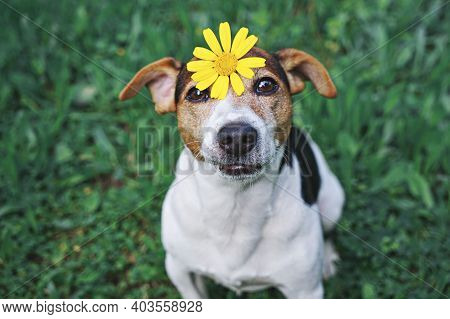 Adorable Funny Dog Jack Russell Terrierdog Sitting In Green Grass With Yellow Flower Daisy On Head.