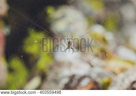 Spider Garden-spider Lat. Araneus Kind Araneomorph Spiders Of The Family Of Orb-web Spiders Araneida