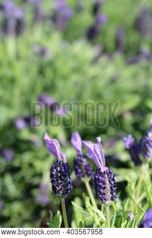 Butterfly Lavender Avenue Bellevue Flowers - Latin Name - Lavandula Stoechas Avenue Bellevue