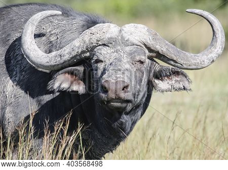 Bull Buffalo In The Mud With Big Curved Horns. A Lone African Buffalo With Trophy Horns Looks Aggres