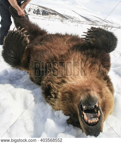 The Carcass Of A Brown Bear Lying On Its Back At The Beginning Of Skinning After Hunting. A Hunter W